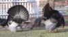 Turkeys_3_2