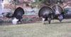 Turkeys_4_2